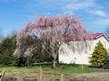 Weeping Cherry Tree, Owens Drive