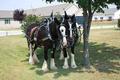 Spiker & Mullikin horses snuggle before the parade