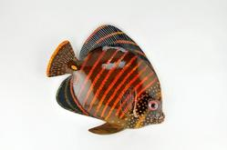 Blue Butterfly Fish