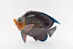 Cherub Fish