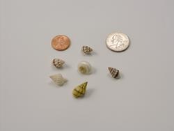 Itsy Shells