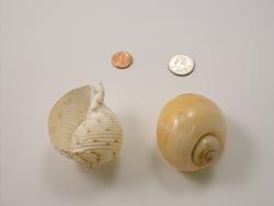 Extra Large Shells