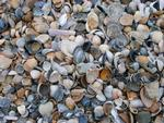 Tiny Teaspoon Shells: Natural