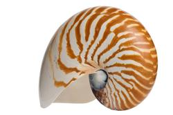 Natural Nautilus