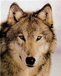 Gray Wolf Face Poster