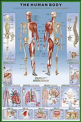 Anatomy: Human Body Poster