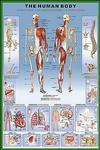 Anatomy: Human Body Poster