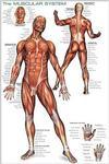 Anatomy: Human Body Muscalar System