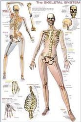 Anatomy: Human Body Skeletal System
